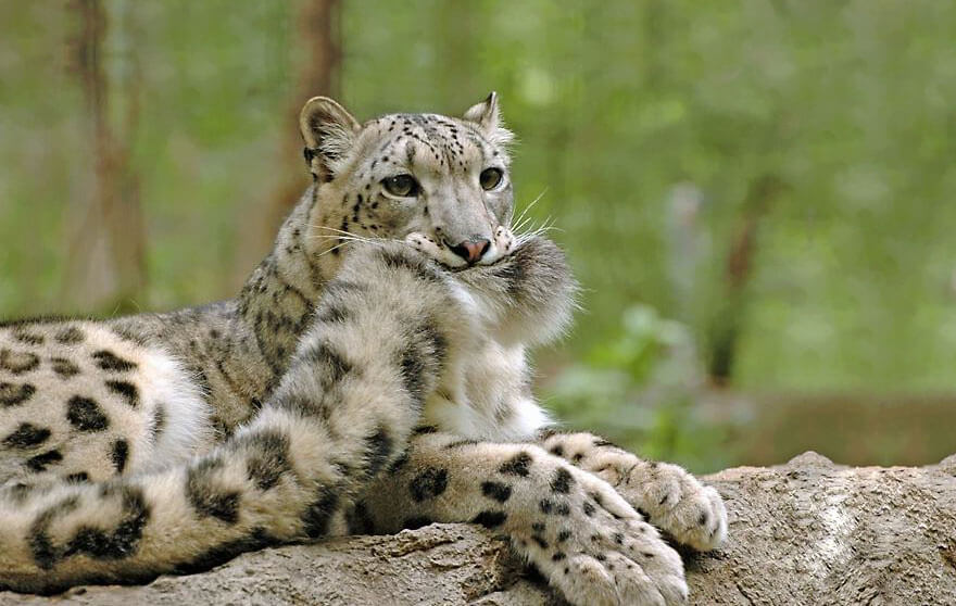 why do snow leopards bite their tails 1 (1)