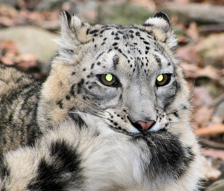 why do snow leopards bite their tails 12 (1)