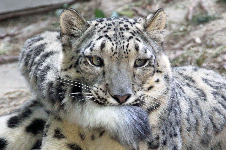 why do snow leopards bite their tails 2 (1)