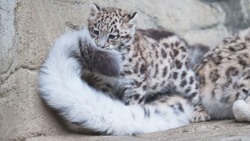 why do snow leopards bite their tails 3 (1)