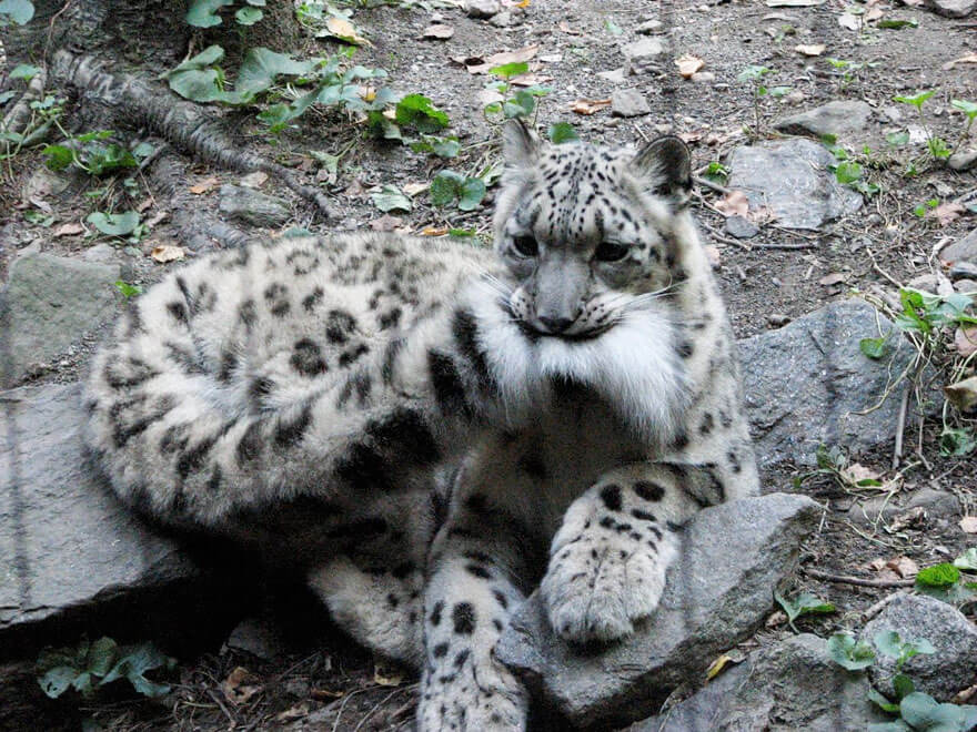 why do snow leopards bite their tails 4 (1)