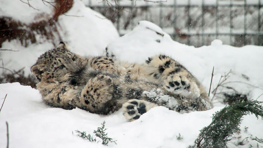 why do snow leopards bite their tails 6 (1)