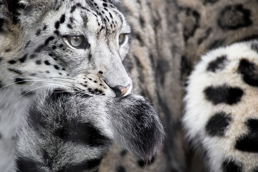 why do snow leopards bite their tails 9 (1)