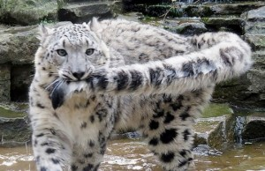 why do snow leopards bite their tails feat (1)