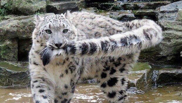 Snow Leopard On Qinghai Plateau