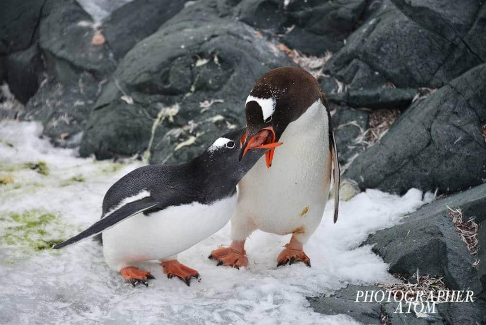 Photos of Penguins 10 (1)