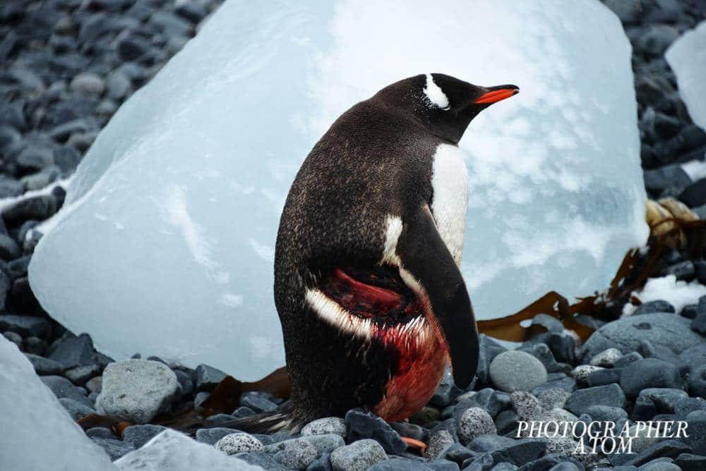 Photos of Penguins 11 (1)