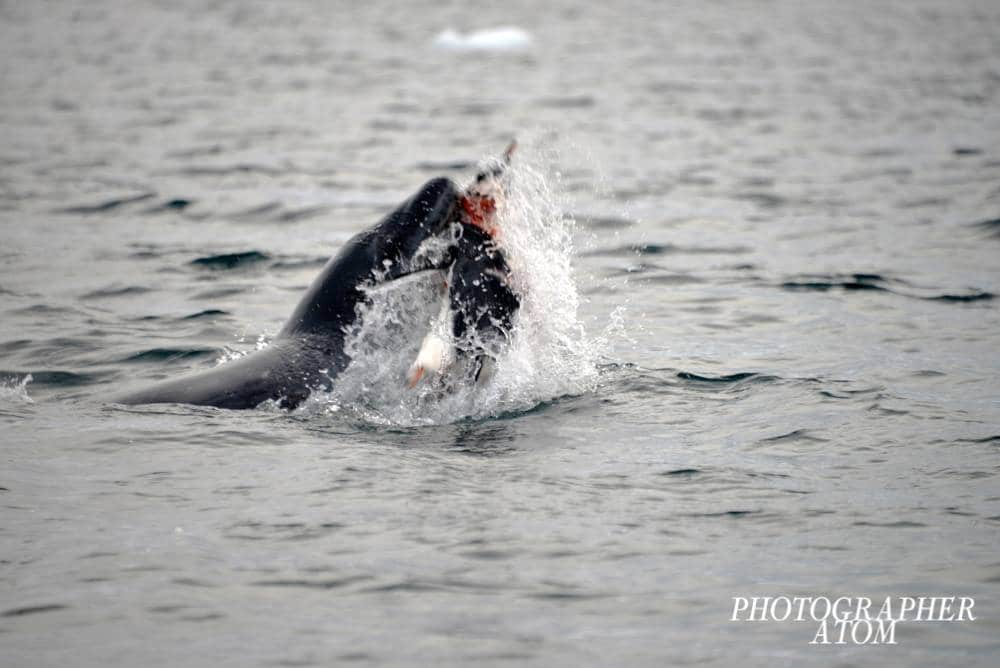 Photos of Penguins 13 (1)