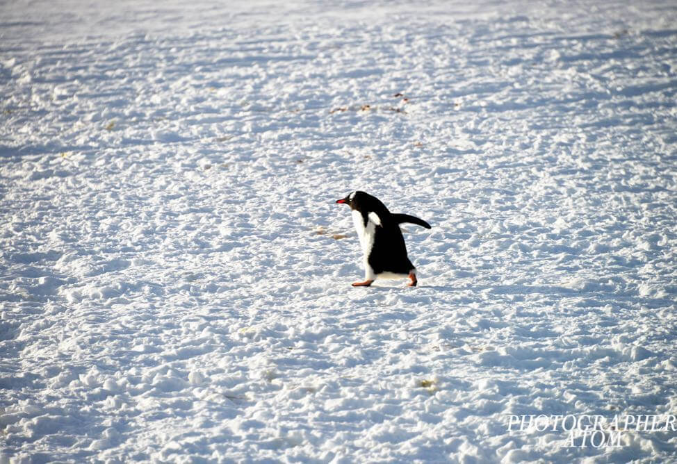 Photos of Penguins 4 (1)