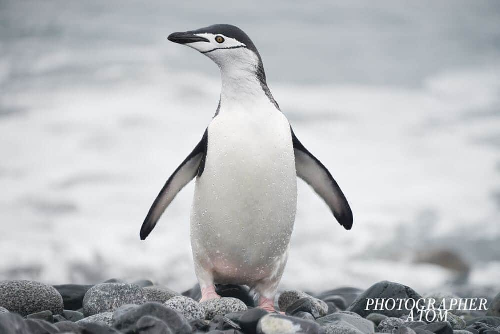 Photos of Penguins 5 (1)