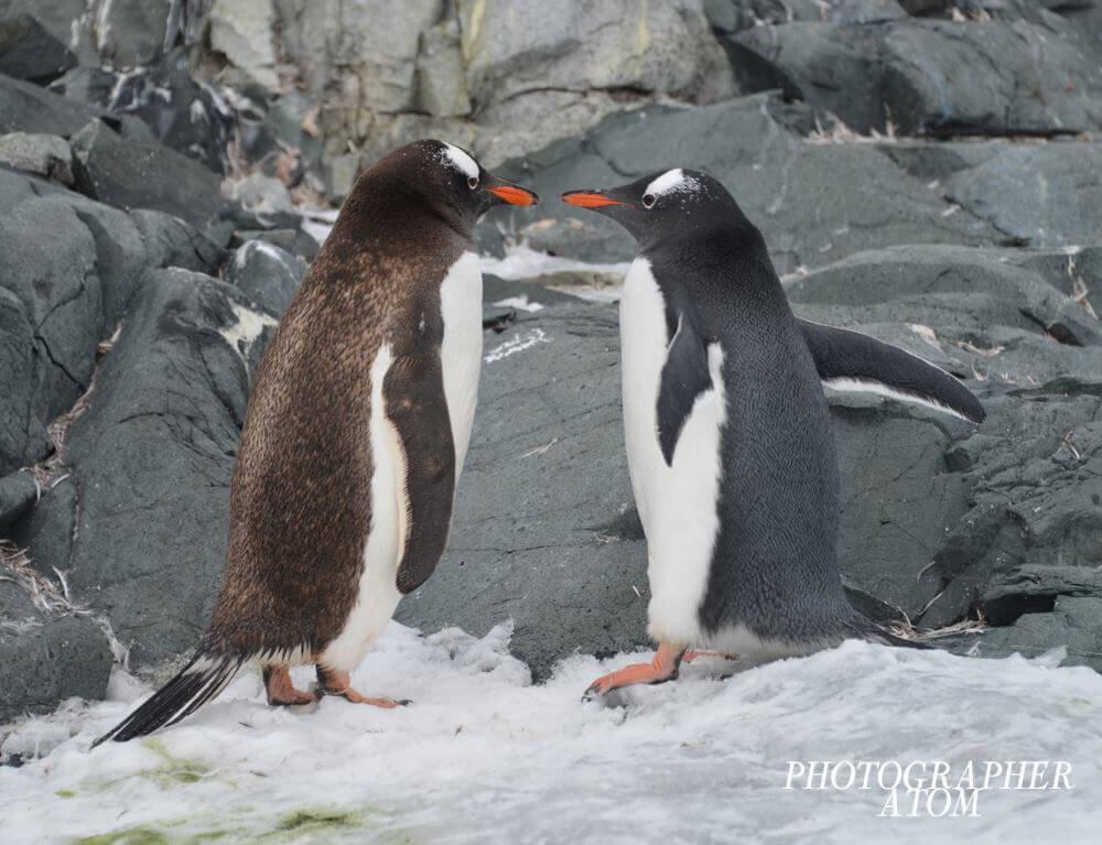 Photos of Penguins 6 (1)