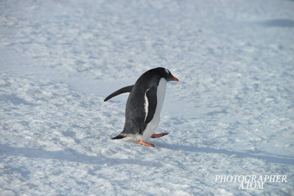 Photos of Penguins 7 (1)