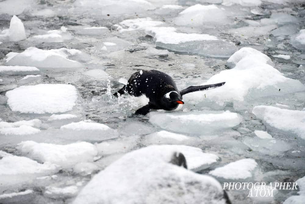 Photos of Penguins 9 (1)
