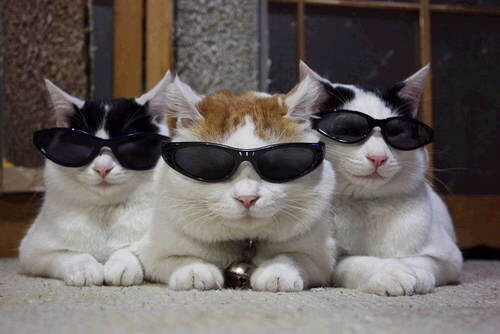 cats wearing shades 11 (1)