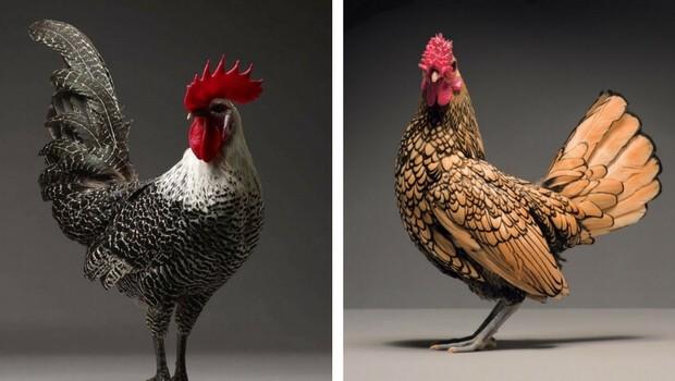 chicken portraits feat (1)