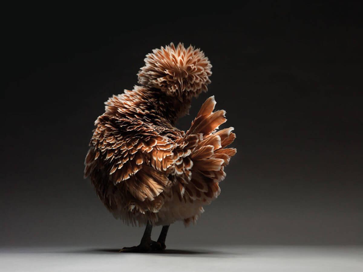 chicken portraits moreno monti matteo tranchellini 11 (1)