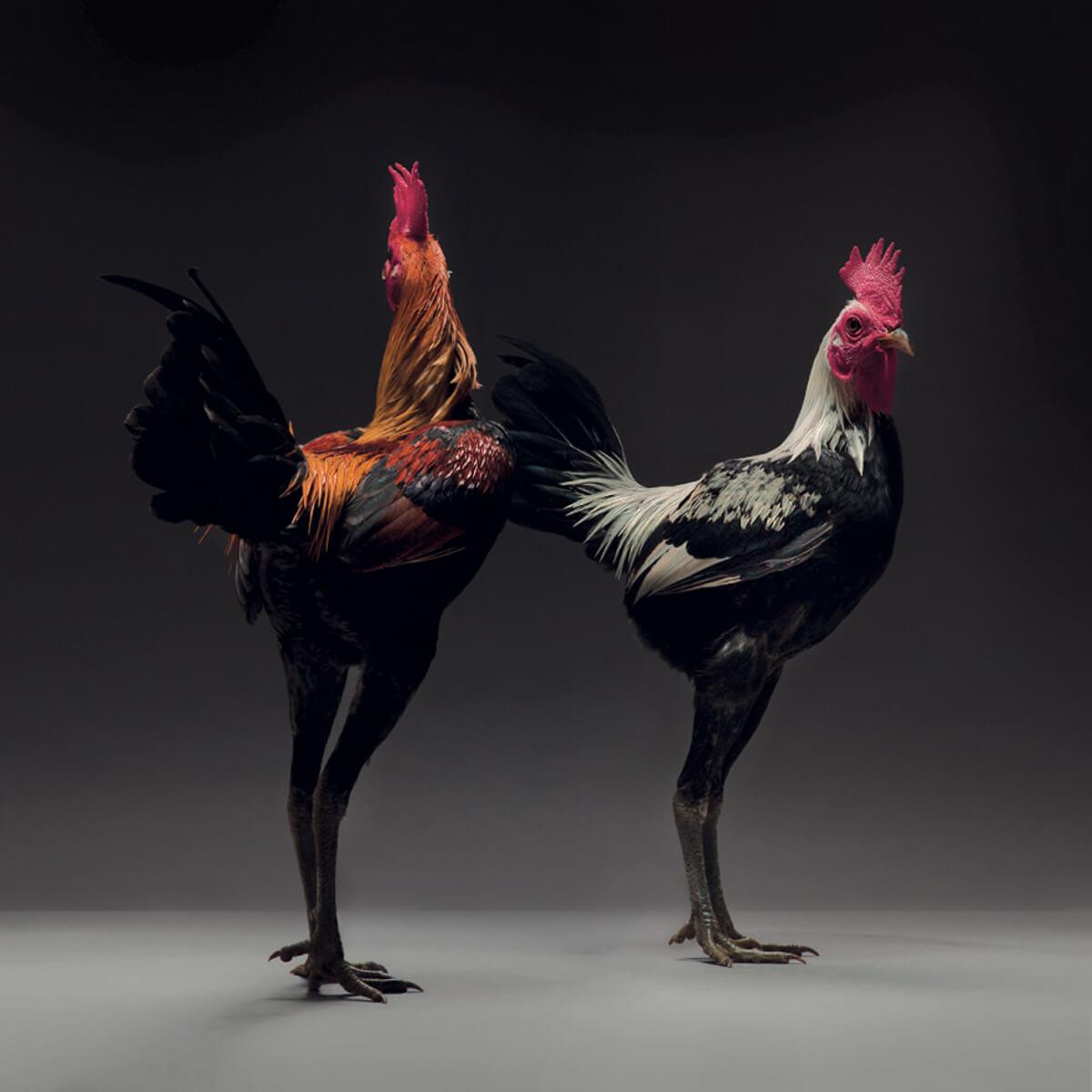 chicken portraits moreno monti matteo tranchellini 13 (1)