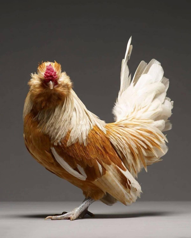 chicken portraits moreno monti matteo tranchellini 8 (1)