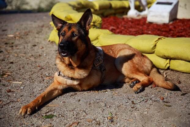 k9 military working dogs 10 (1)