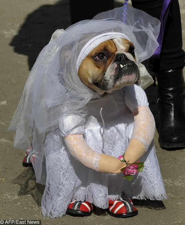 """Tank the English Bullodog as the """"Runaway Bride"""" attends the 21st Annual Tompkins Square Halloween Dog Parade in New York on October 22, 2011 The parade of masquerading dogs is the largest Halloween Dog Parade in the US. AFP PHOTO / TIMOTHY A. CLARY"""
