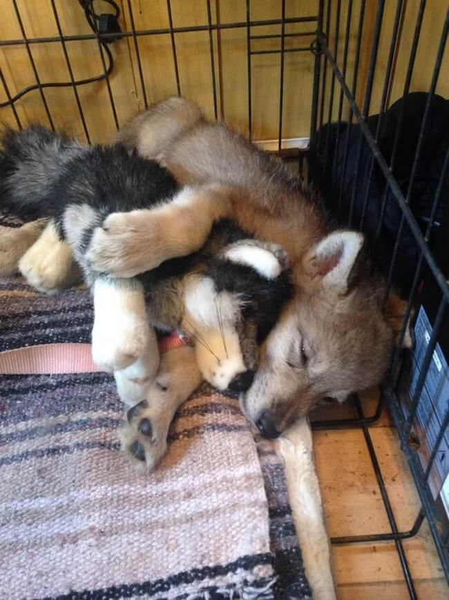 cute wolf images 10 (1)