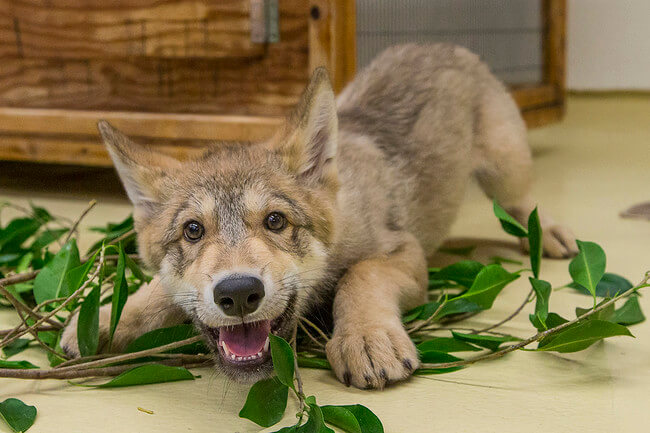 adorable wolf pictures 15 (1)