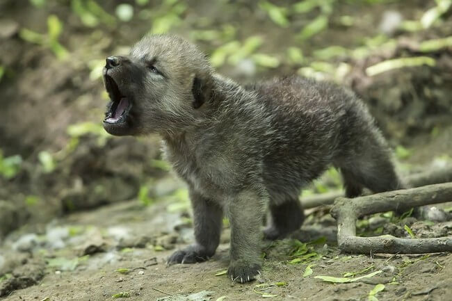cute wolf pictures 2 (1)
