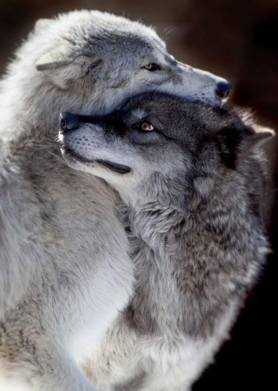adorable wolf pictures 23 (1)