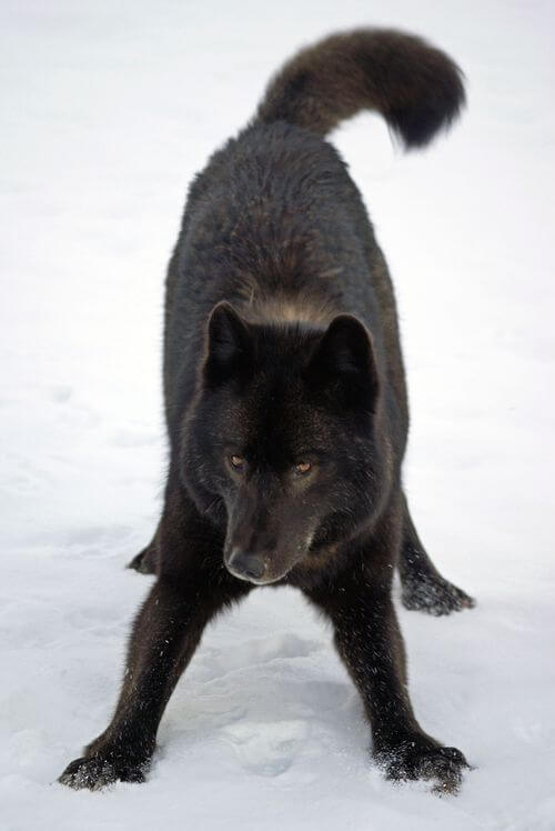 cute wolf pictures 27 (1)