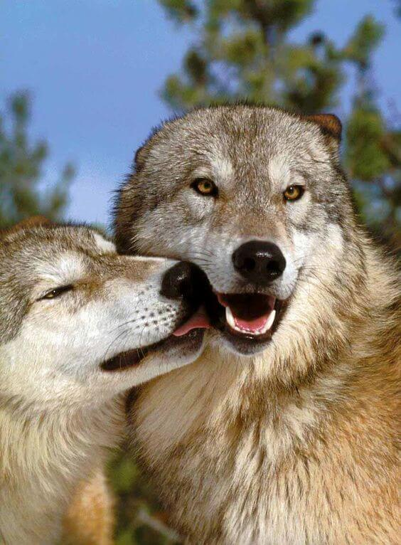 cute wolf pictures 30 (1)