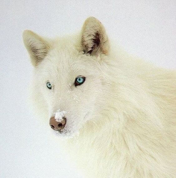 cute wolf pictures 31 (1)