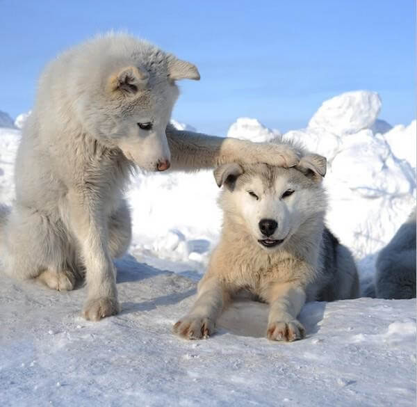 cute wolf images 6 (1)