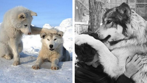 cute wolf pictures feat (1)