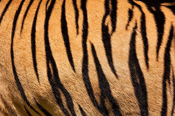 why do tigers have stripes - fur color (1)