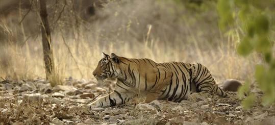why do tigers have stripes - sneaking up on prey (1)