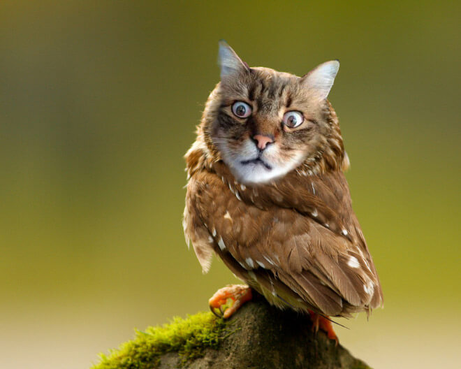 cat heads photoshopped onto owl bodies 6 (1)