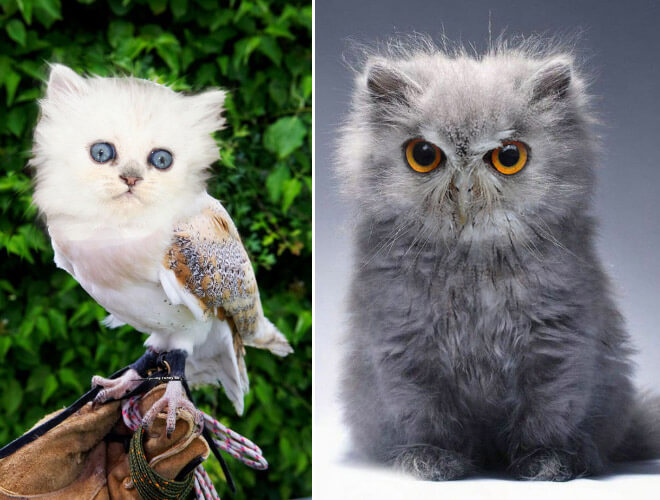 cat heads photoshopped onto owl bodies 7 (1)