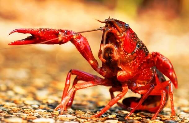 Red species 10 (1)