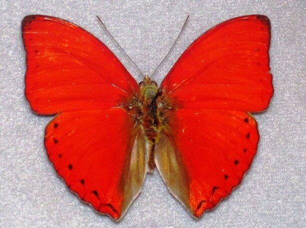 Red Animals 18 (1)