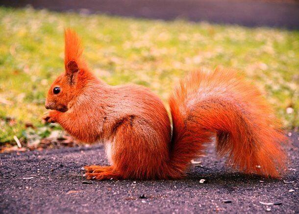 Red Animals 19 (1)