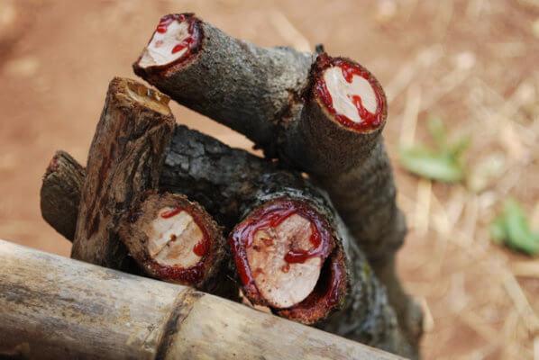 Pterocarpus angolensis 4 (1)