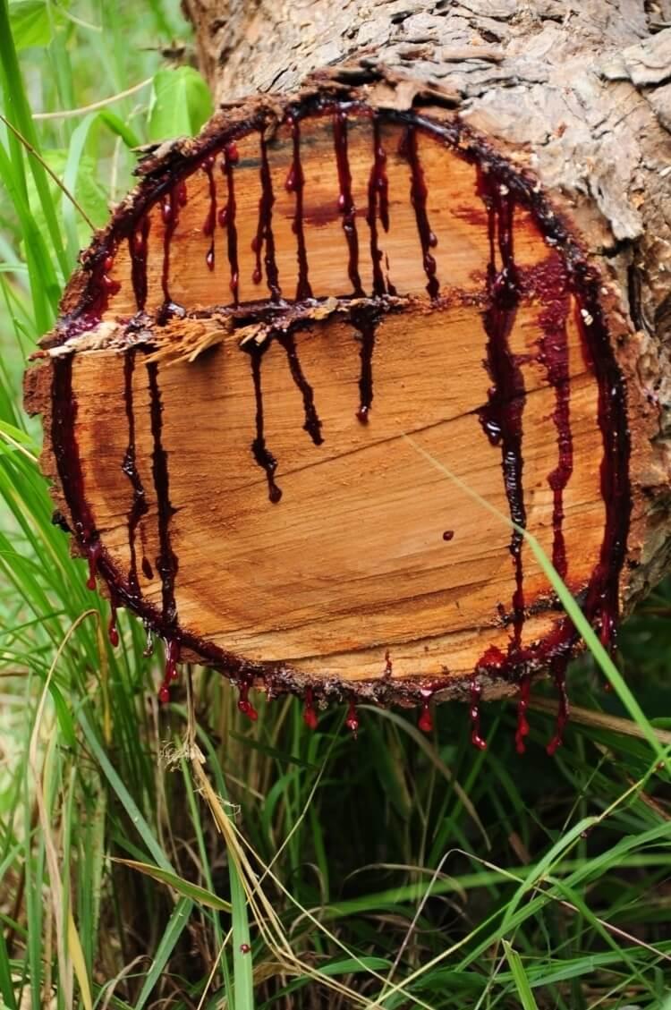 bloodwood tree 6 (1)