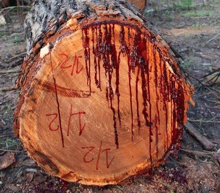 bloodwood tree 7 (1)