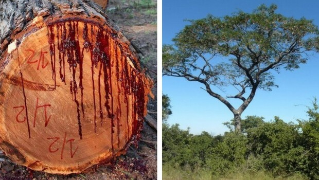Image result for bloodwood tree