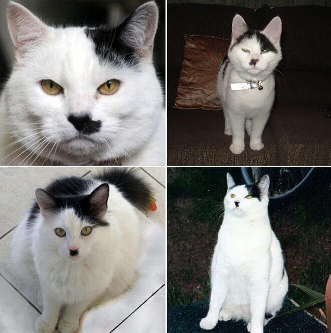 cats that look like hitler 18 (1)