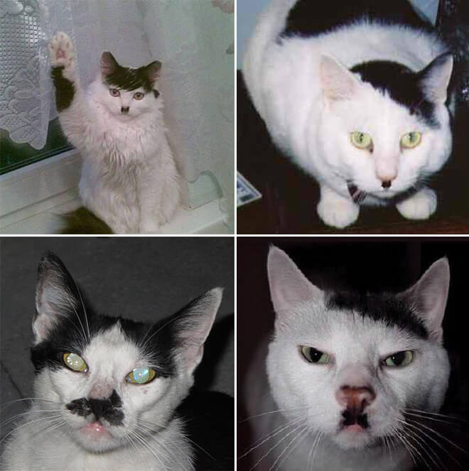 cats that look like hitler 2 (1)