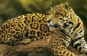 increased jaguar population feat (1)