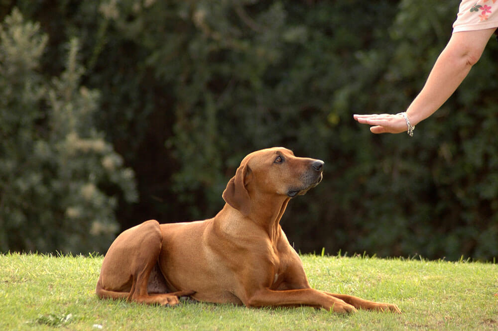 why do dogs chase cats - stay command (1)