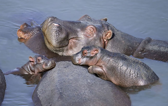 tiny hippo pictures 16 (1)