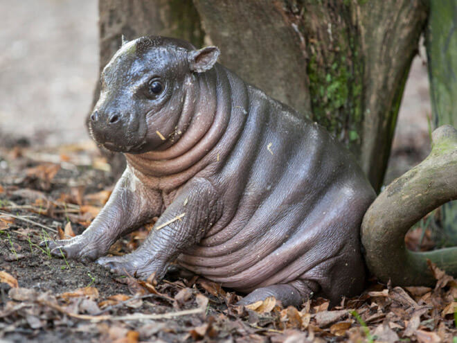 baby hippo pictures 2 (1)